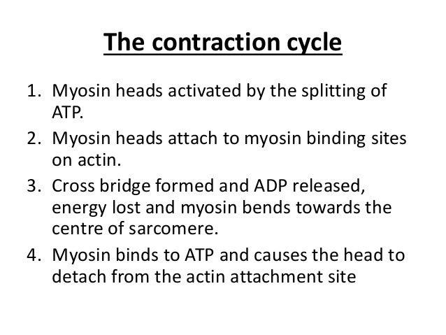 Skeletal muscle contraction essay