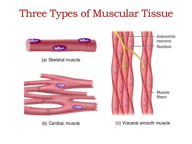 Three Types of Muscle Tissue Three Types of Muscular Tissue