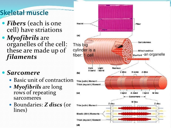 muscle cell organelles, Muscles
