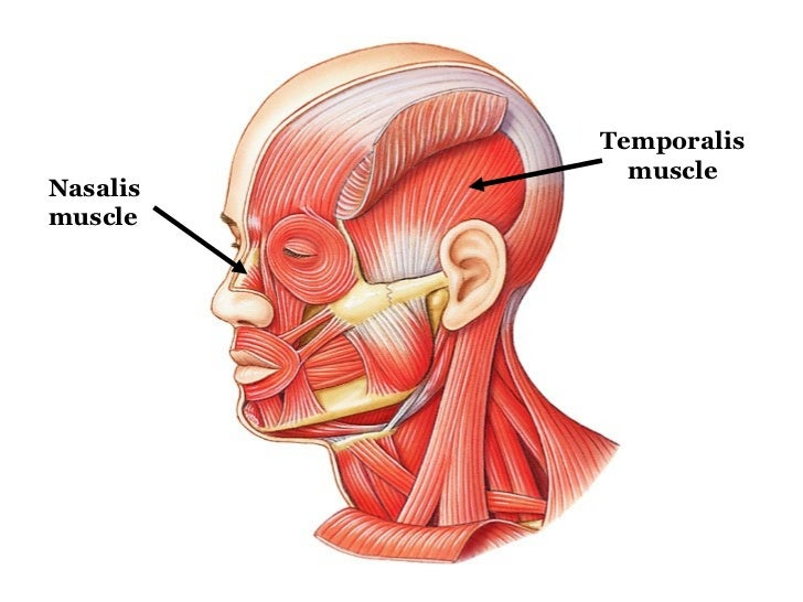 Hyoglossus Muscle Exercises Tongue Hyoglossus Muscle