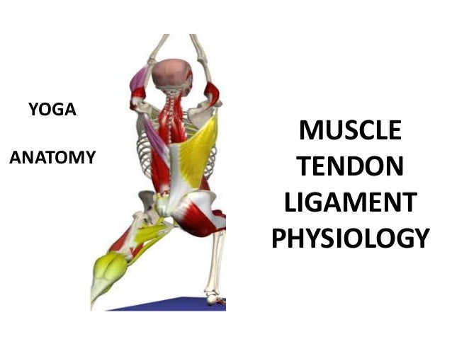 YOGA            MUSCLEANATOMY            TENDON           LIGAMENT          PHYSIOLOGY