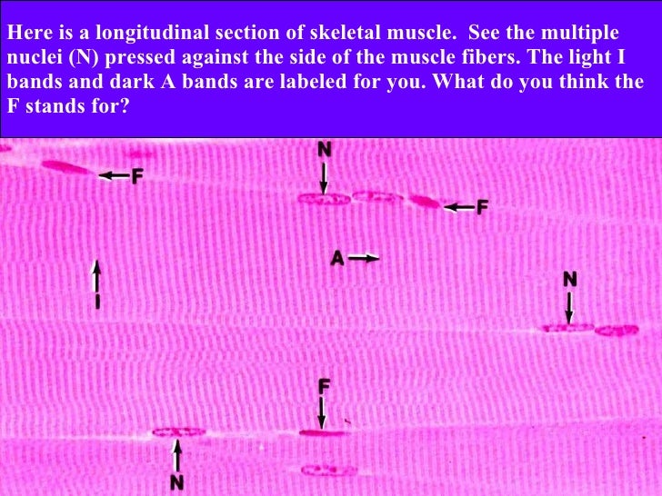 skeletal muscle cross section labeled image information, Muscles
