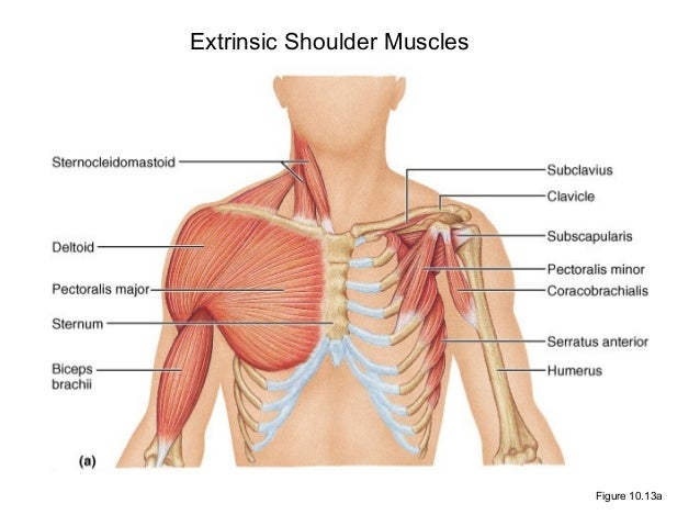 Shoulder muscles and chest - human anatomy diagram   Shoulder ...