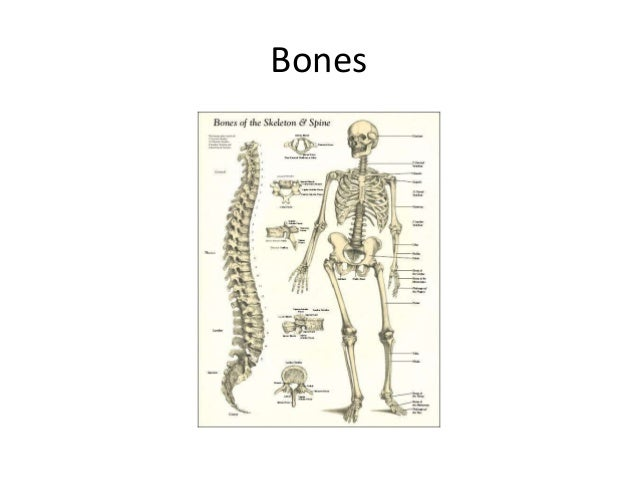 bdeane2 Muscles and bones