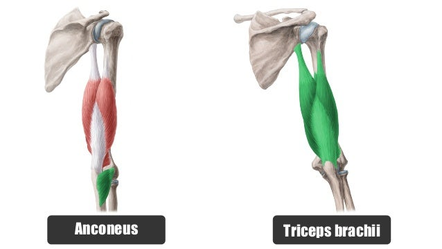 Anatomy of thigh and hip