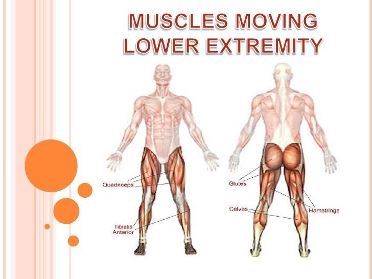 MUSCLES MOVING LOWER EXTREMITY<br />