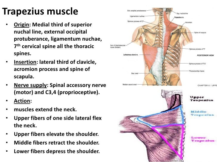 Anatomy of the neck muscles