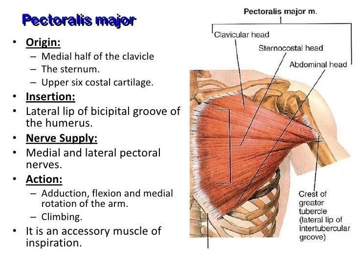 Pectoralis Major Muscle Origin
