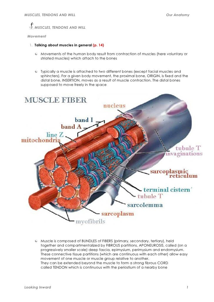 MUSCLES, TENDONS AND WILL                                                      Our Anatomy     MUSCLES, TENDONS AND WILL M...