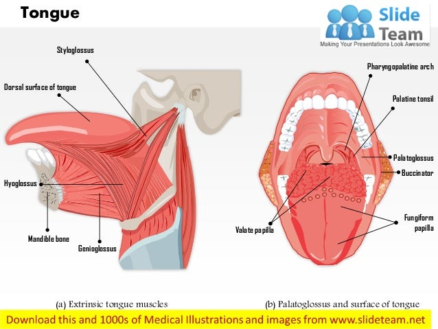Muscle of tongue anatomy