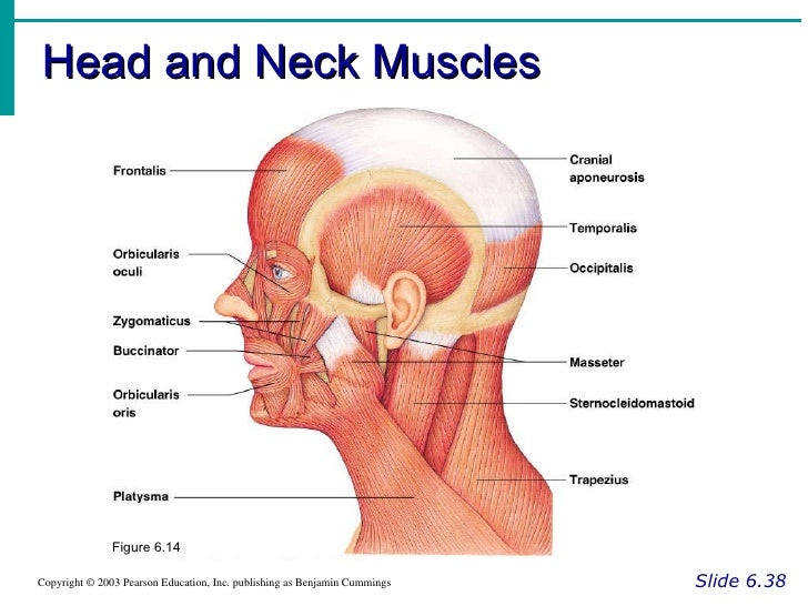 Head And Neck Muscles Labeled Head And Neck Muscles Slide