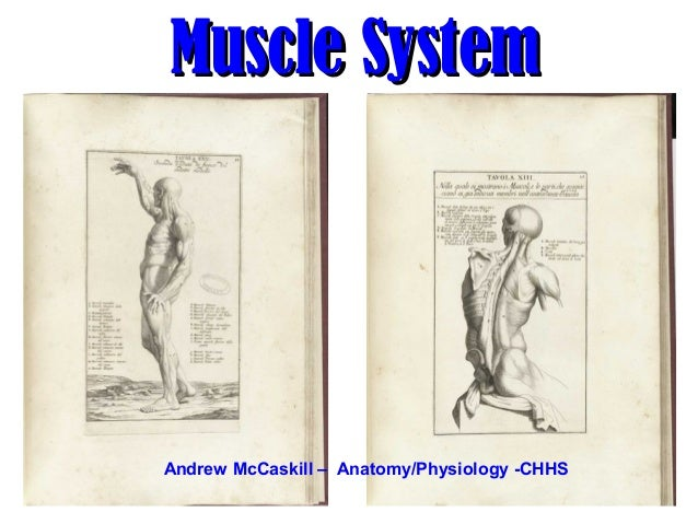 Muscle SystemMuscle System Andrew McCaskill – Anatomy/Physiology -CHHS