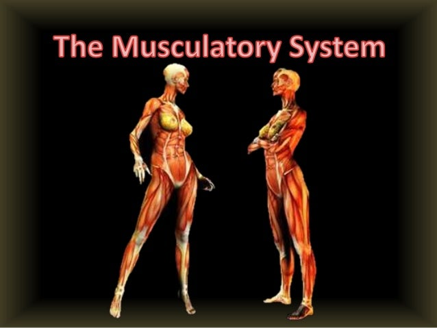 What does the Musulatory System do?• The muscular system is the bodys network of  tissues that controls movement both of t...