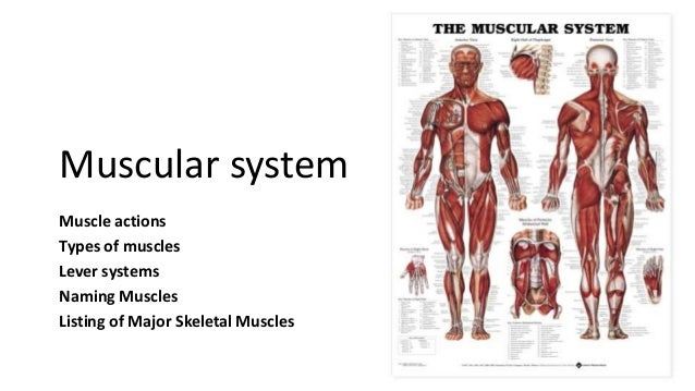 Muscular system Muscle actions Types of muscles Lever systems Naming Muscles Listing of Major Skeletal Muscles