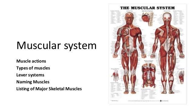 muscular system. Black Bedroom Furniture Sets. Home Design Ideas