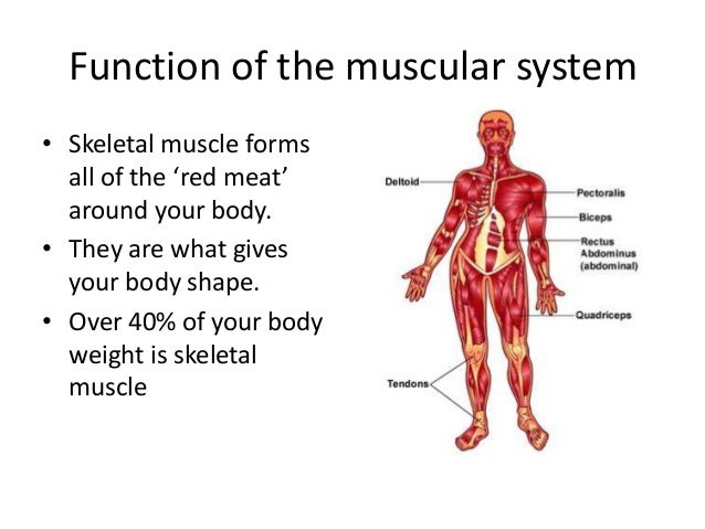 Muscular system lesson 1