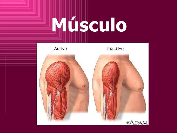 Musculo1