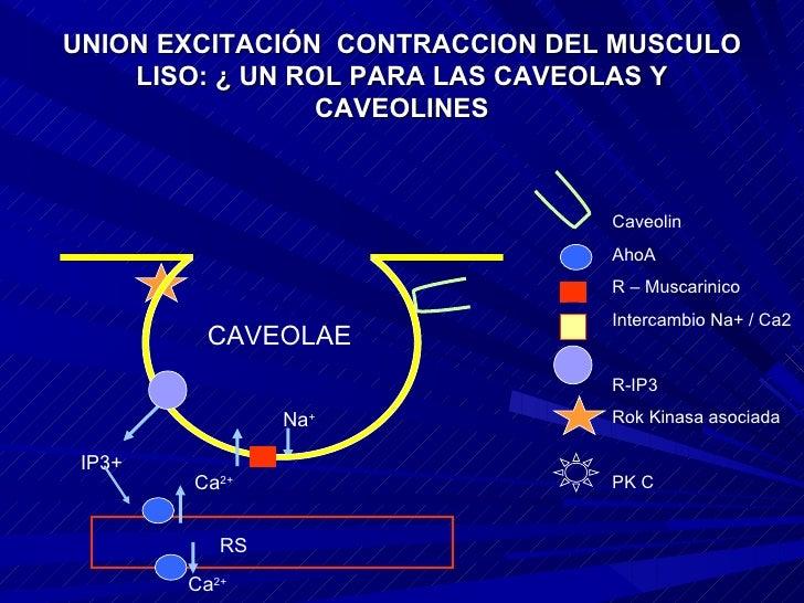 UNION EXCITACIÓN  CONTRACCION DEL MUSCULO LISO: ¿ UN ROL PARA LAS CAVEOLAS Y CAVEOLINES CAVEOLAE Caveolin AhoA R – Muscari...