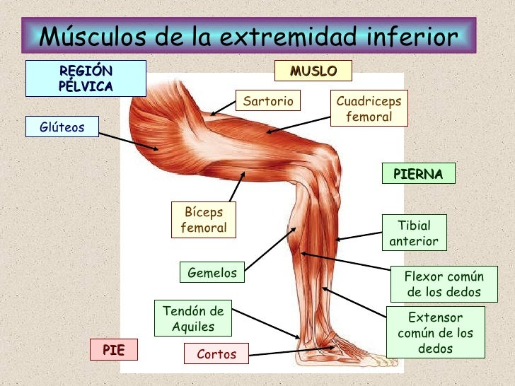 Excelente Menores Músculos De Las Piernas Y Los Tendones Foto ...