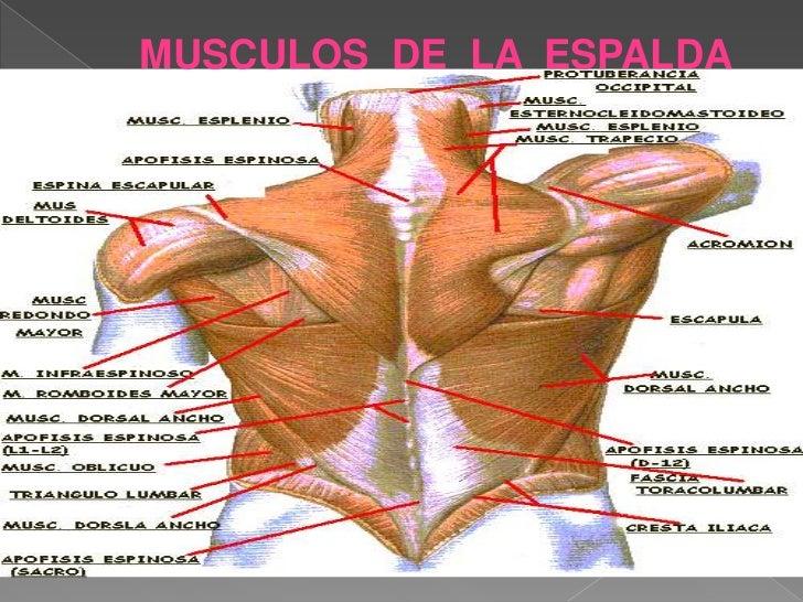 Único Imagen De La Musculatura De La Espalda Humanos Ilustración ...