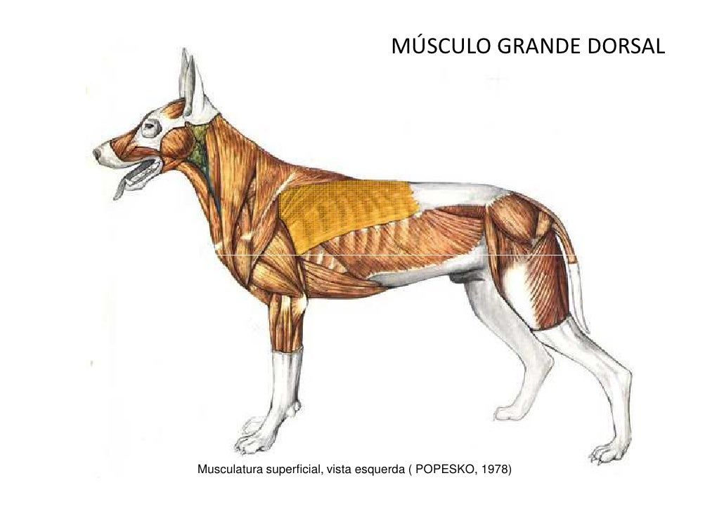 Surgery Of The Lower Respiratory System Lungs And Thoracic Wall besides The Urogenital System further Mammlab 201 20Skull 20Skeleton additionally 02 20 20Regulation 20of 20breathing together with 9706452. on dorsal ventral dog