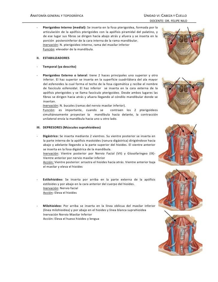 Musculos masticadores for Esternohioideo y esternotiroideo