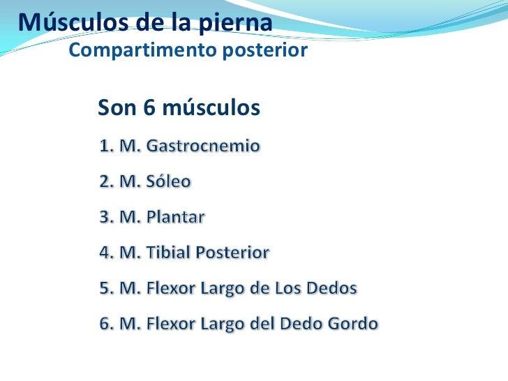 Músculos de la pierna    Compartimento posterior      Son 6 músculos