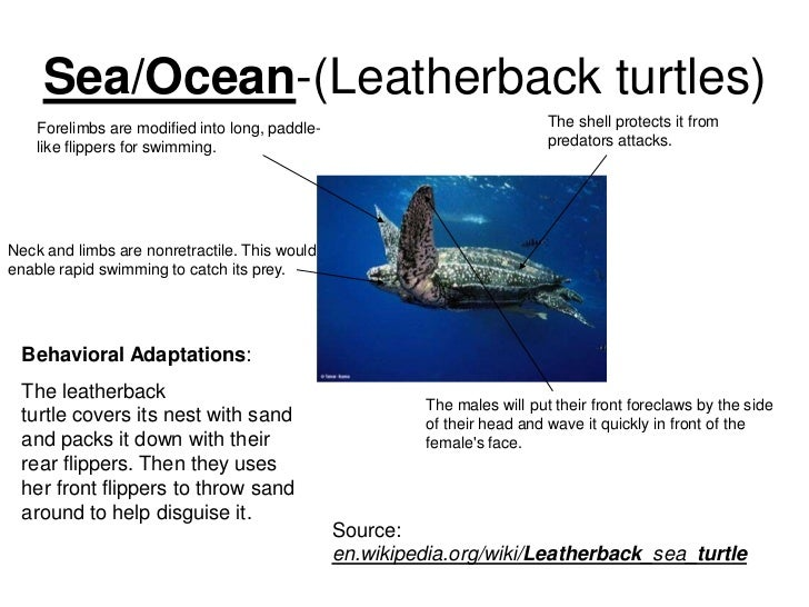 leatherback sea turtle essay Leatherback sea turtles are the only sea turtles that lack a hard shell, having a carapace of thick, leathery skin instead.
