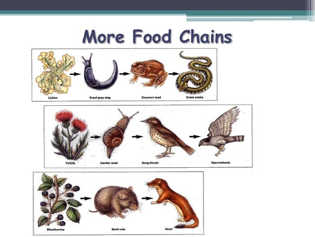 The Food Web For The Asian Golden Cat