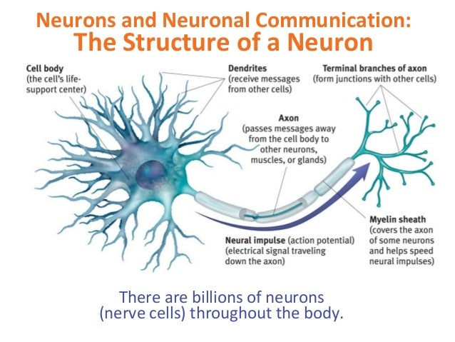 communication process of neurons in the brain essays Enzyme catalysis lab report the horace essay price greatness responsibility outline speech essay examples newcomb communication process neurons brain essays 000 trojan war in agamemnon.