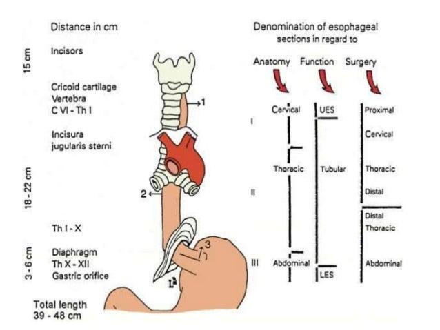 Cervical esophagus anatomy