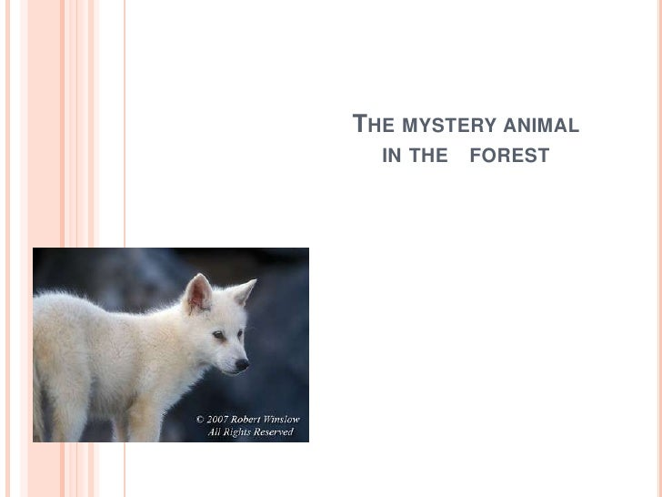 The mystery animal in the   forest<br />