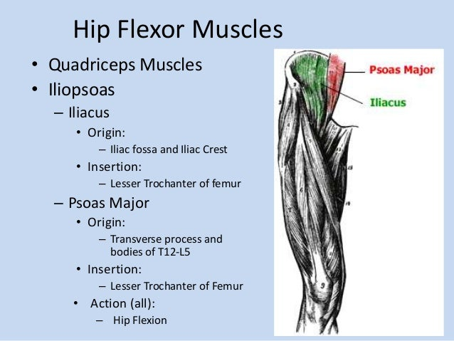 Quadriceps Muscle Quadriceps Muscles