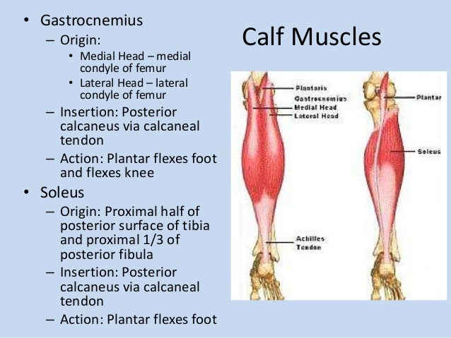 Gastrocnemius Muscle Origin And Insertion Myofascial pain syndro...