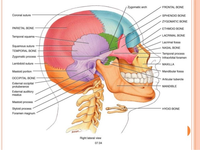 Nasal anatomy external
