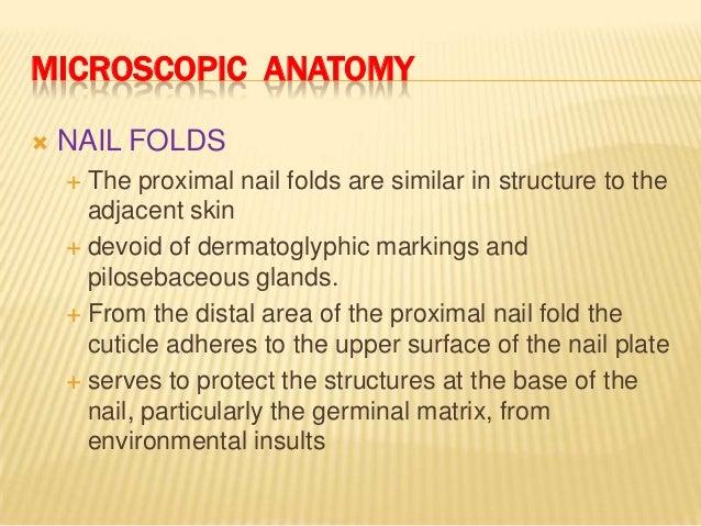 Microscopic Anatomy  Nail