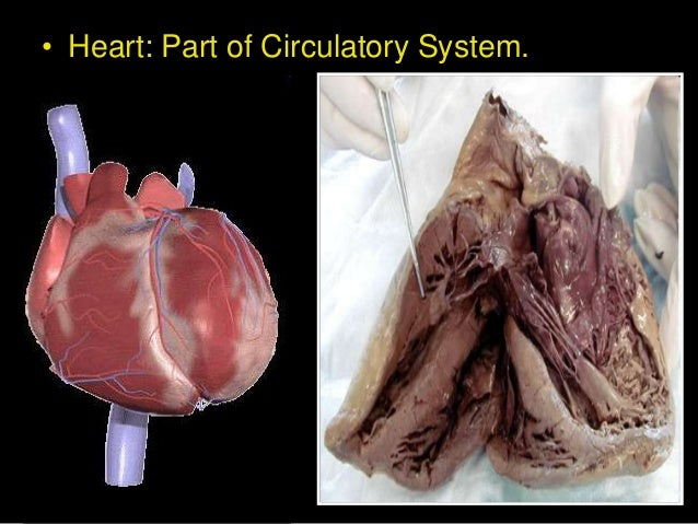 introduction of the human heart Science of the heart: vol 1 (1993-2001) exploring the role of the heart in human performance an overview of research conducted by the heartmath institute.