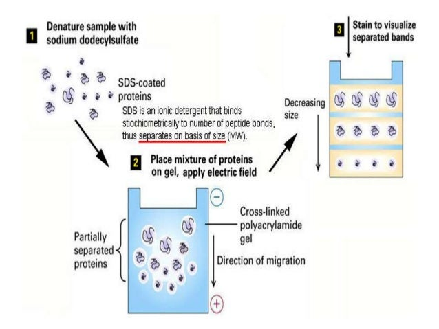 electrophoresis separation by using isoelectric focusing system Separation of proteins and peptides by capillary electrophoresis: application to by capillary electrophoresis: application to analytical isoelectric focusing.