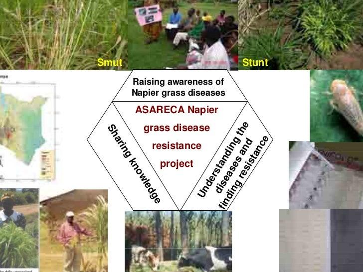 Smut                                   Stunt            Raising awareness of            Napier grass diseases            A...