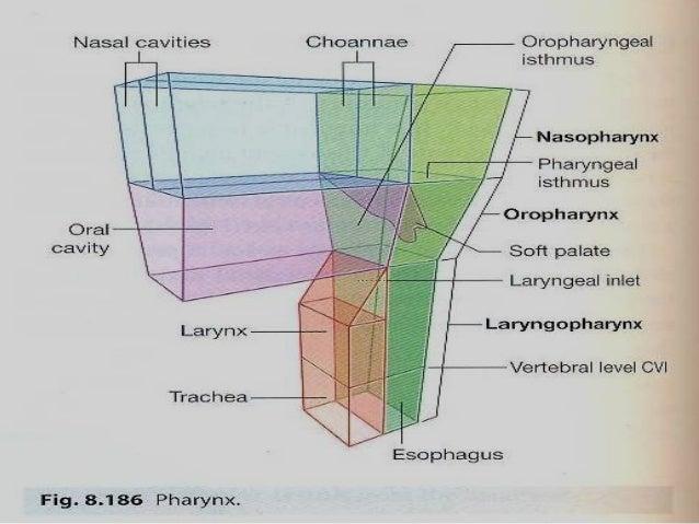 Nasal cavityNasal cavity • Extends from nares as far back asExtends from nares as far back as posterior nasal apertures or...