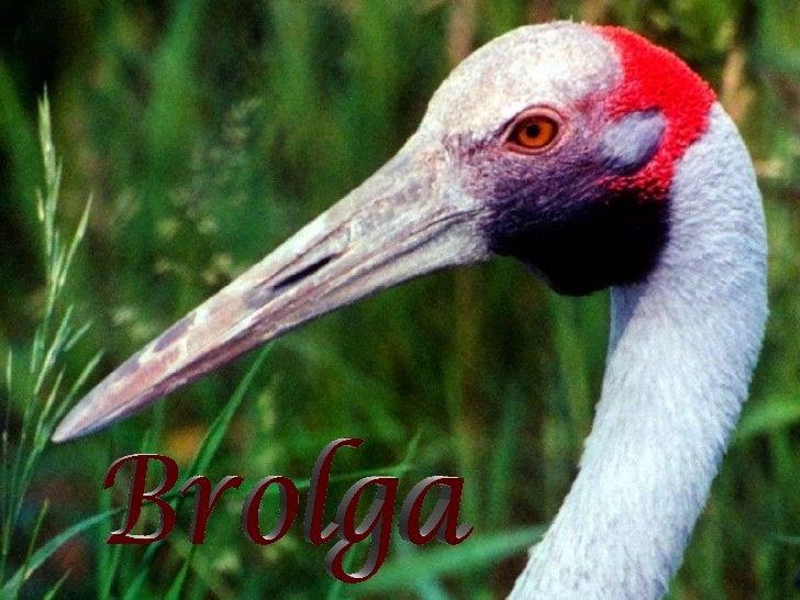 Native compagnons (brolga1)