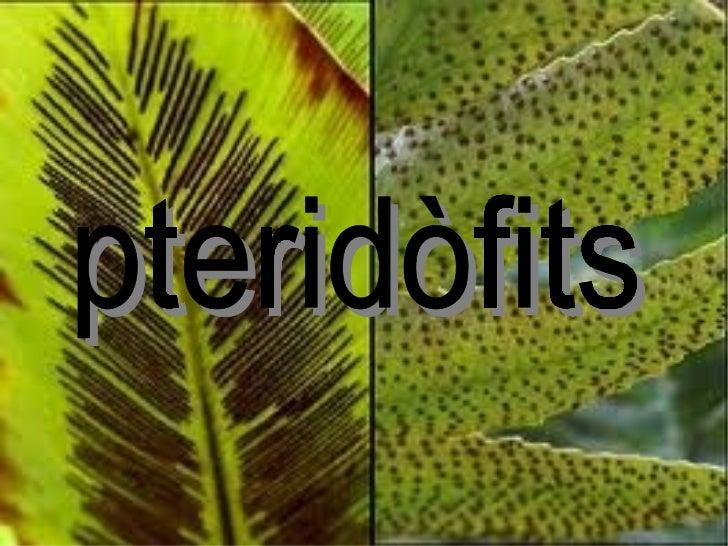 pteridòfits