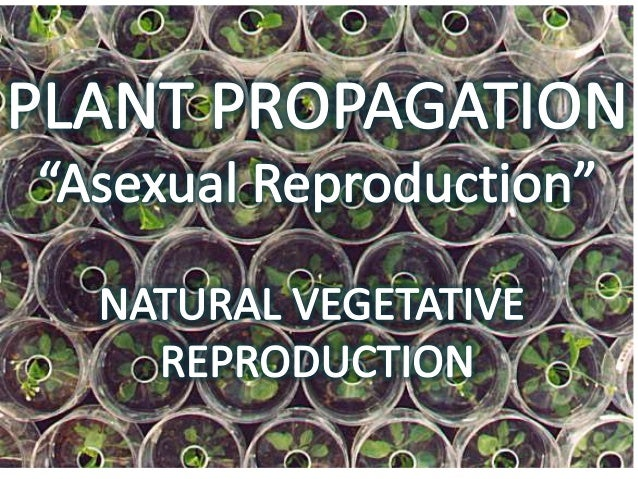 Natural Vegetative Reproduction  •Plants reproduce on their own using underground stems, , bulbs, corms, rhi zomes and lea...