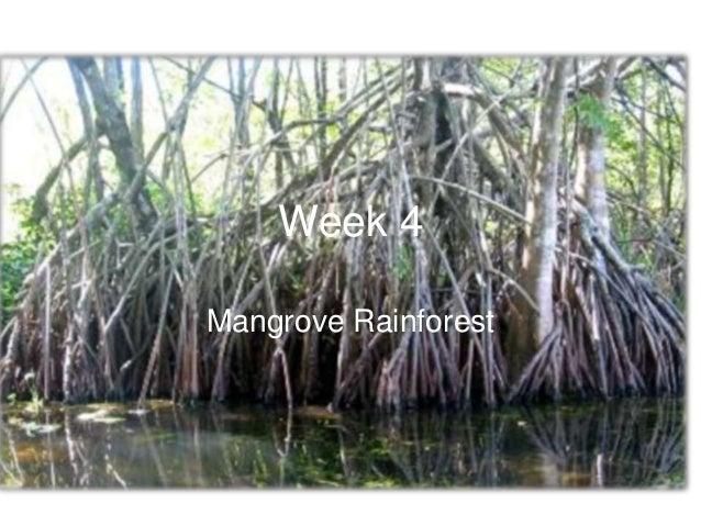 Week 4Mangrove Rainforest