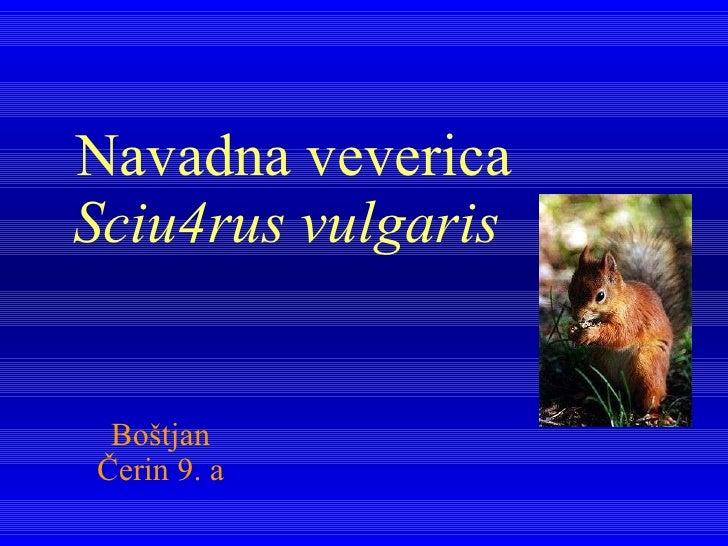 Navadna veverica Sciu4rus vulgaris   Boštjan Čerin 9. a