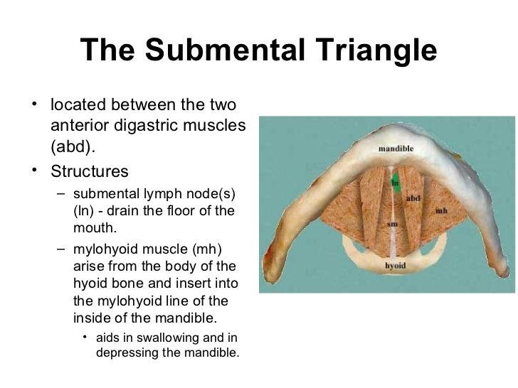 Anatomy of neck triangles