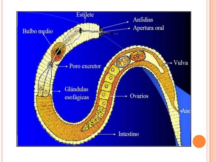 CLASIFICACION DE NEMATODOS | conociminetos de fitopatologia