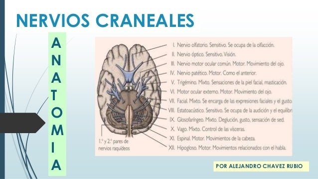 Nervios craneales anatomia for 12 paredes craneales
