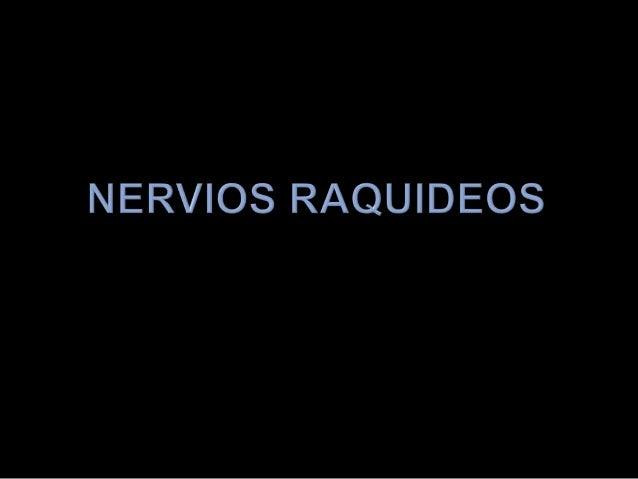 NERVIOS RAQUIDEOS (nervios espinales)Nacen de la médula espinal y atraviesan los agujerosde conjunción para dirigirse a la...