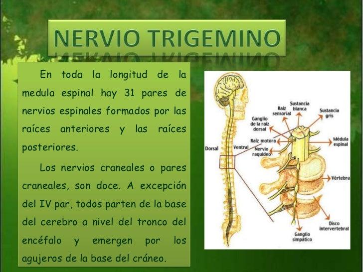 NERVIO TRIGEMINO<br />En toda la longitud de la medula espinal hay 31 pares de nervios espinales formados por las raíces a...